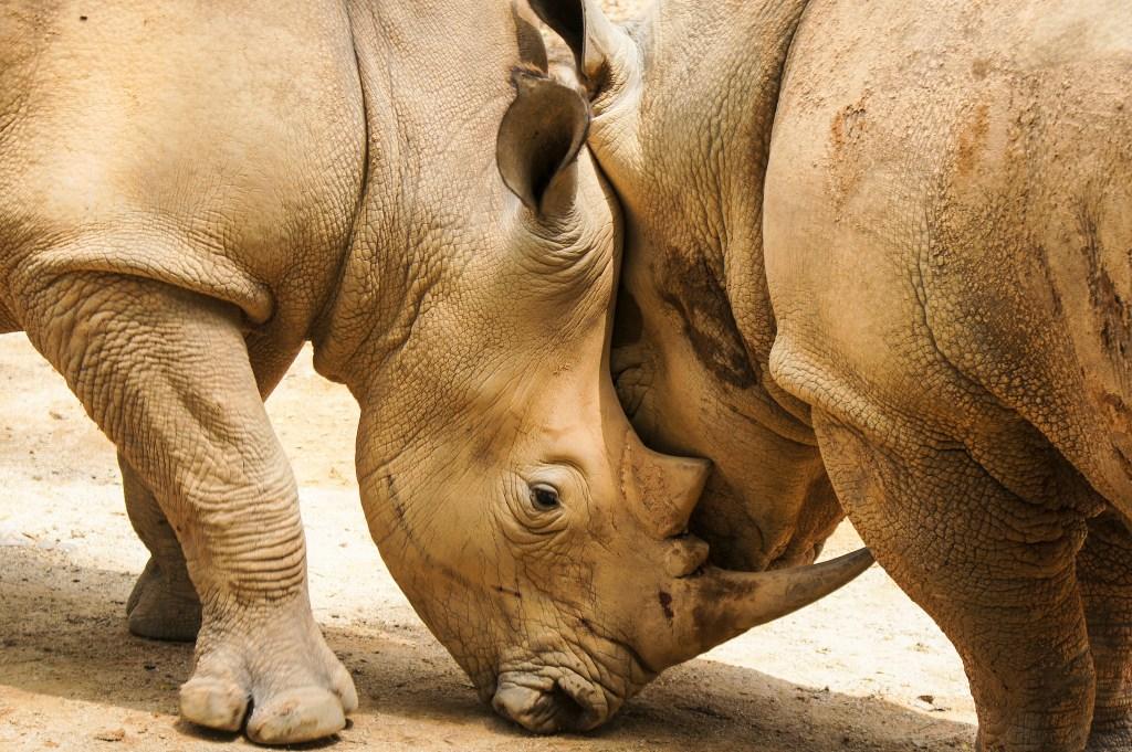 Rhinoceros, Kruger National Park, South Africa