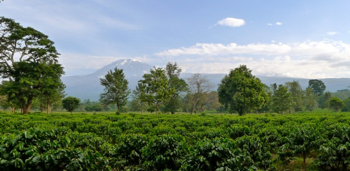 Coffee growing on Kilimanjaro