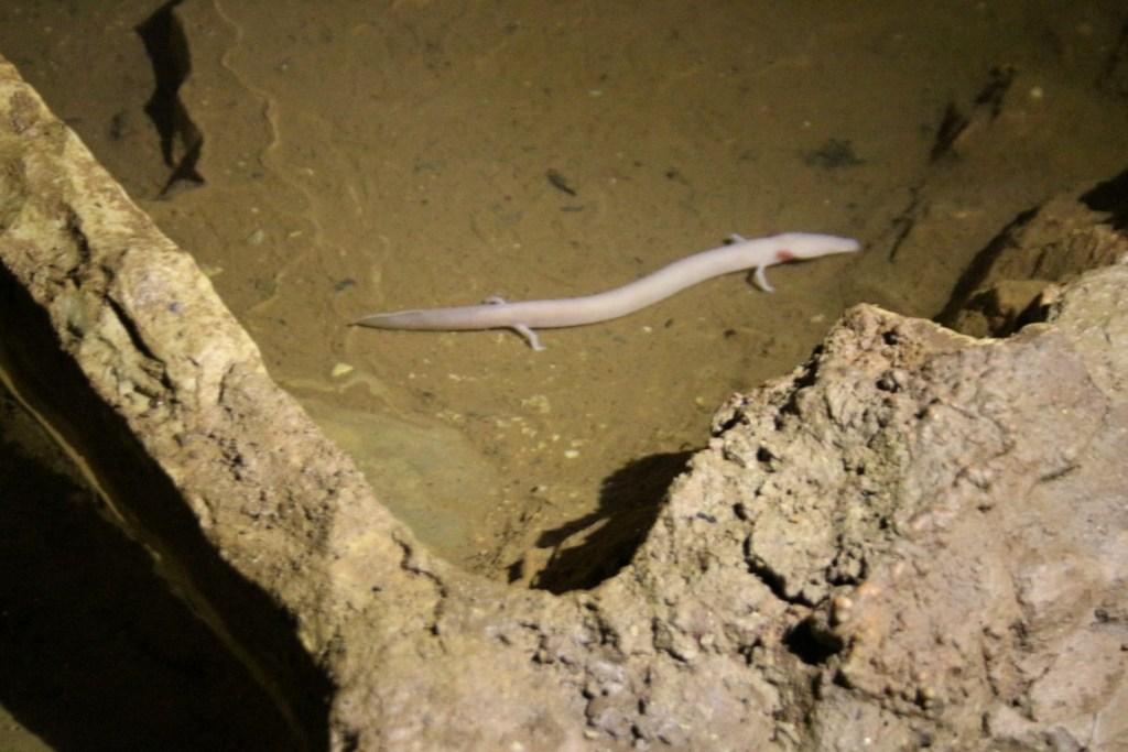 witte-salamander-olm