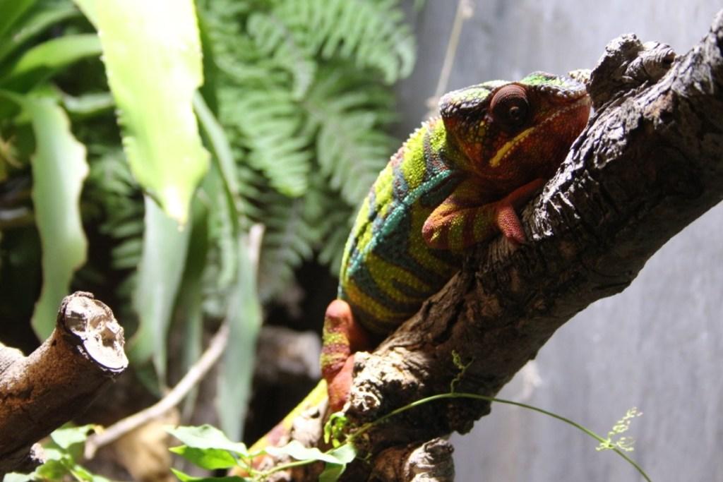 panter-kameleon-tropical-zoo-zeeland