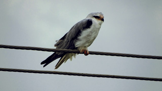 Why don't Birds get Electric Shock- A Bird on a live wire