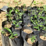 avocado seedlings