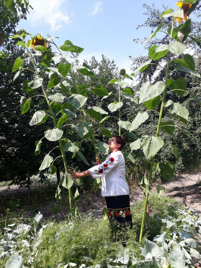 У місті на Волині виросли велетенські соняшники. ФОТО