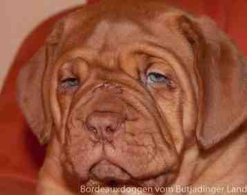 S Wurf Bordeauxdoggen vom Butjadinger Land 27