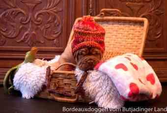 S Wurf Bordeauxdoggen vom Butjadinger Land