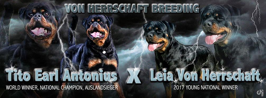 Rottweiler Puppies For Sale Von Herrschaft Rottweilers