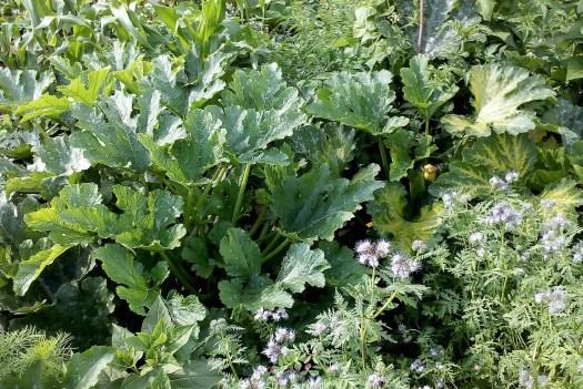 Zucchinipflanze auf dem Feld