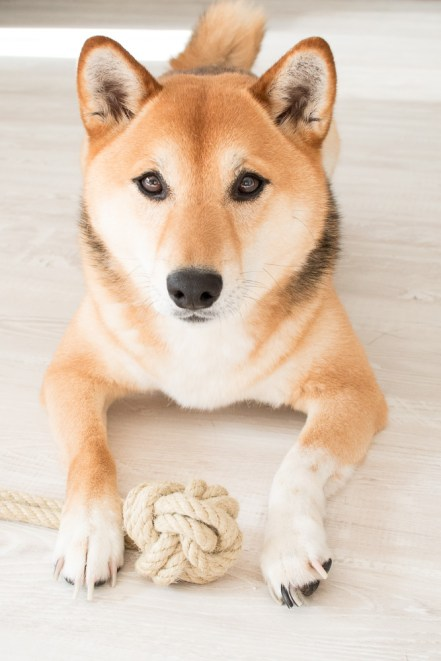 Shiba Inu Hundespielzeug DIY Fressnapf Magazin