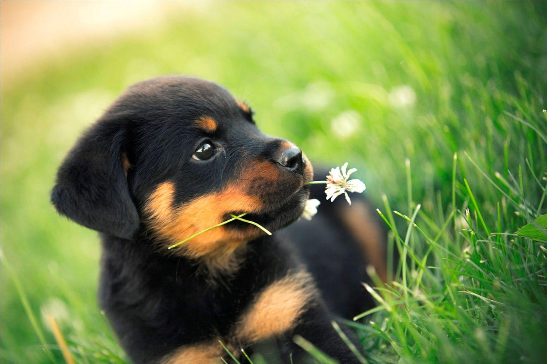 are rottweilers single master dog