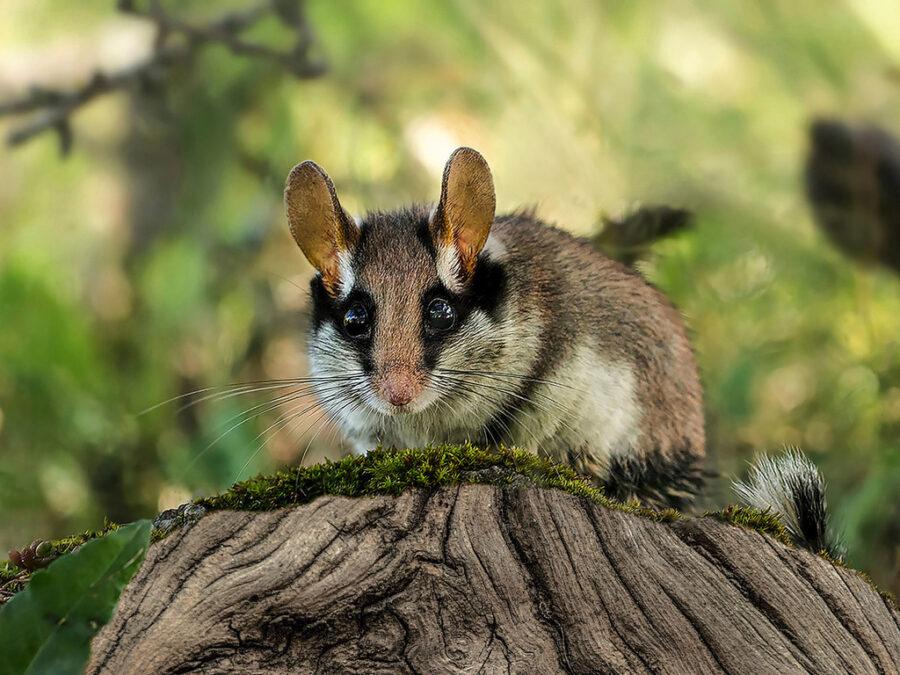 Rato-dos-pomares