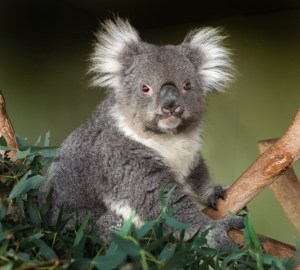 matilda is dedicated to the protection of the wild koala and its habitat