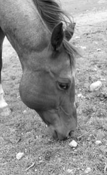 A portrait of the horse Joe