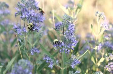 Image of honey bees on purple flowers.