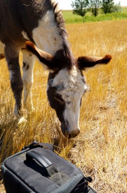 Miniature Donkey - Best Photographers Assistant