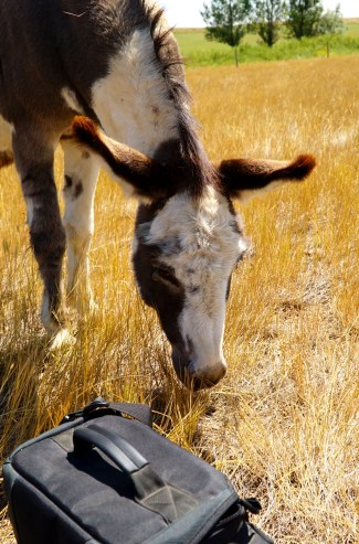 Miniature Donkey - Best Photographers Assistant