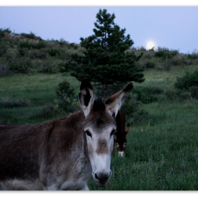 Image of a Donkey in a pasture at sunset.