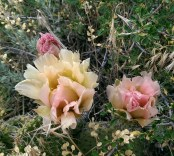 Image of some cactus flowers in bloom.