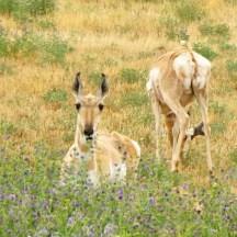 Image of pronghorn deer on some grassland in Colorado