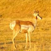 Image of a pronghorn deer on some grasslands in Colorado.