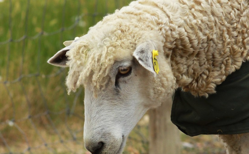 Sheep-cuts