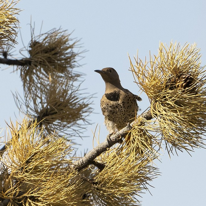 Ruffled upset woodpecker of another variety... (low resolution version)
