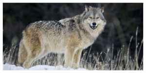 En Savoie deux loups abattus après des attaques de troupeaux
