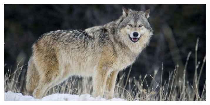 Le loup de retour dans le massif du Jura