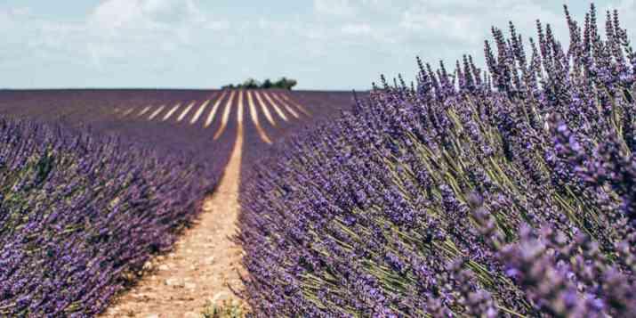 Europe : la lavande possiblement classée comme plante dangereuse ?