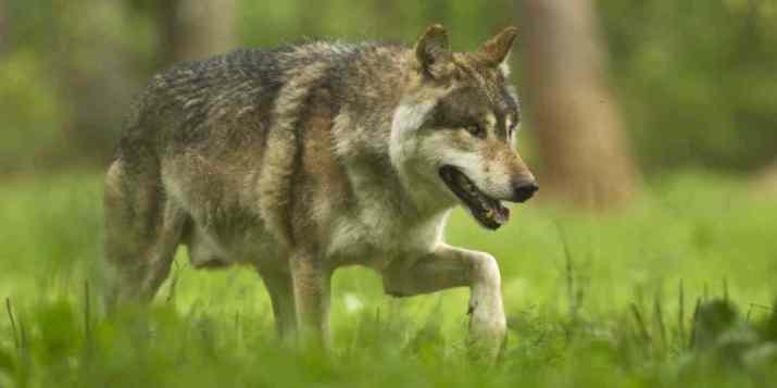 En France, le loup, traqué et braconné, connaît un taux de mortalité alarmant