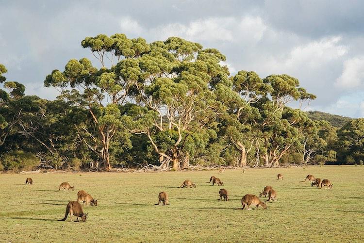 kangaroo-island
