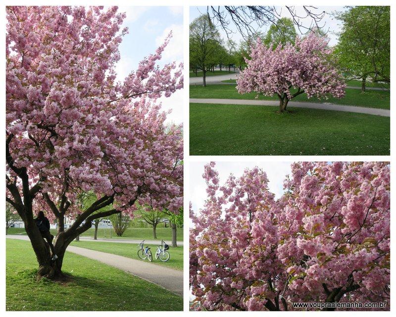 Cerejeiras na primavera em Munique