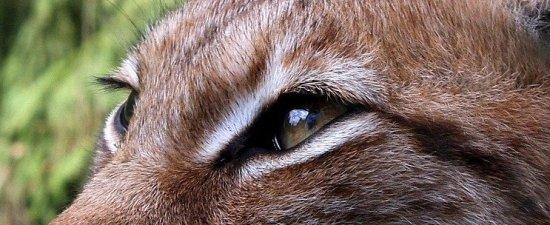 yeux-de-lynx-Jean-Marc-Fraiche-VousEtesUnique.com