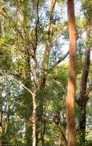 Hôpital pour Koalas - Port Macquarie - Australie
