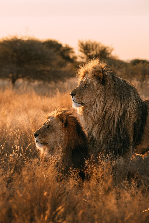 Photo animalière - lions - Johan Lolos