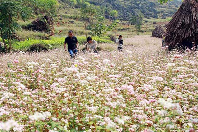 Fleurs de sarrasin à Ha Giang, Vietnam