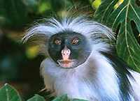 Singes Colobes Bai Voyage Zanzibar