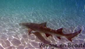 Bébé requin en bord de plage aux maldives par voyage en beauté