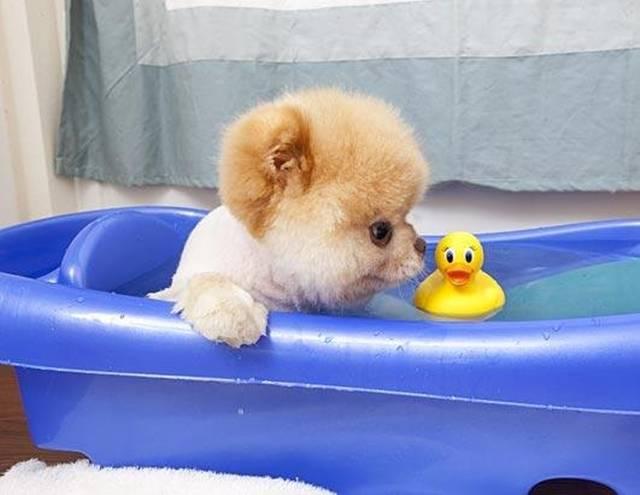 Boo le chien le plus mignon du monde prend son bain par voyage en beauté