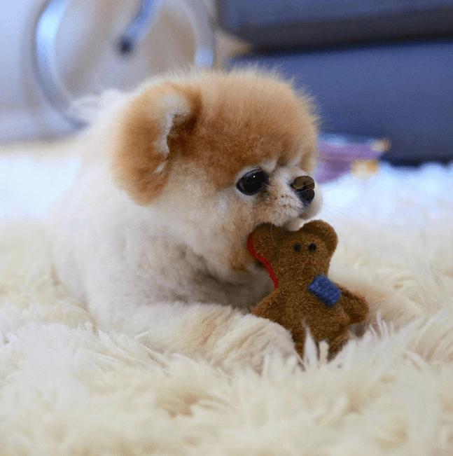 Boo le chien le plus mignon du monde et son nounours par voyage en beauté