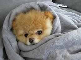 Boo le chien le plus mignon du monde par voyage en beauté
