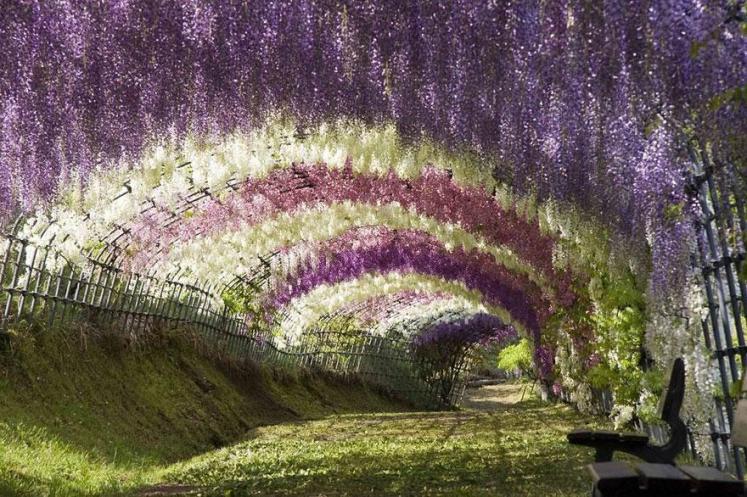 1. Wisteria Flower Tunnel - Kawachi Fuji Garden Japan
