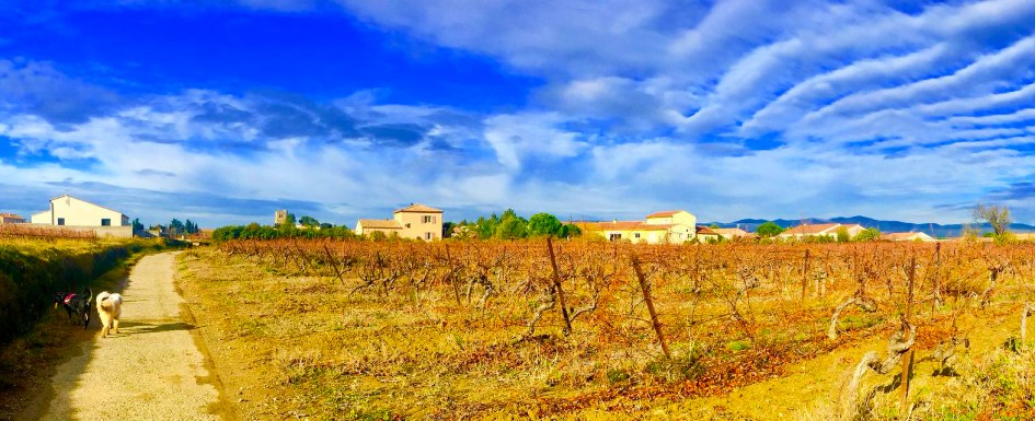 Vineyard in Languedoc, France