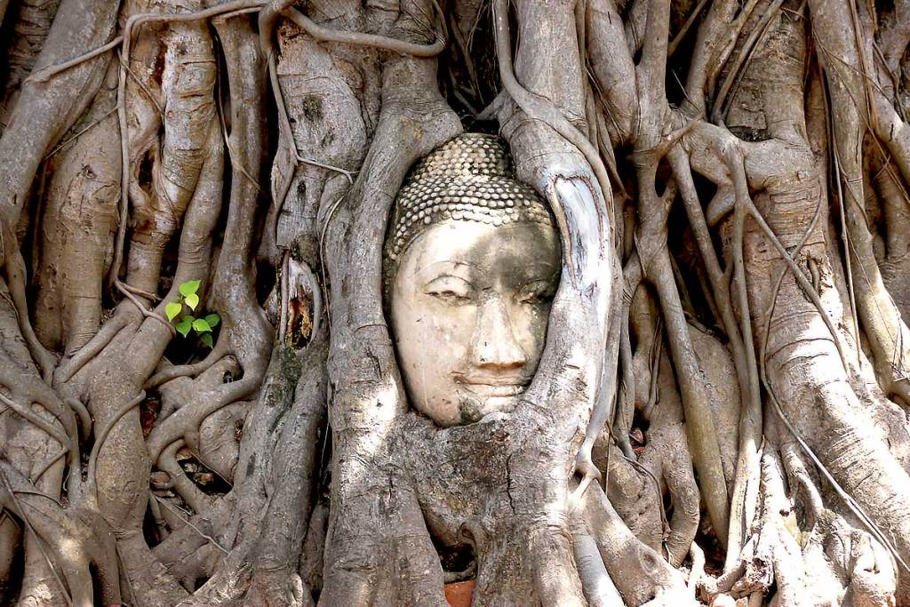 A Buddha head surrounded by a tree at Ayutthaya Historical Park, Thailand.