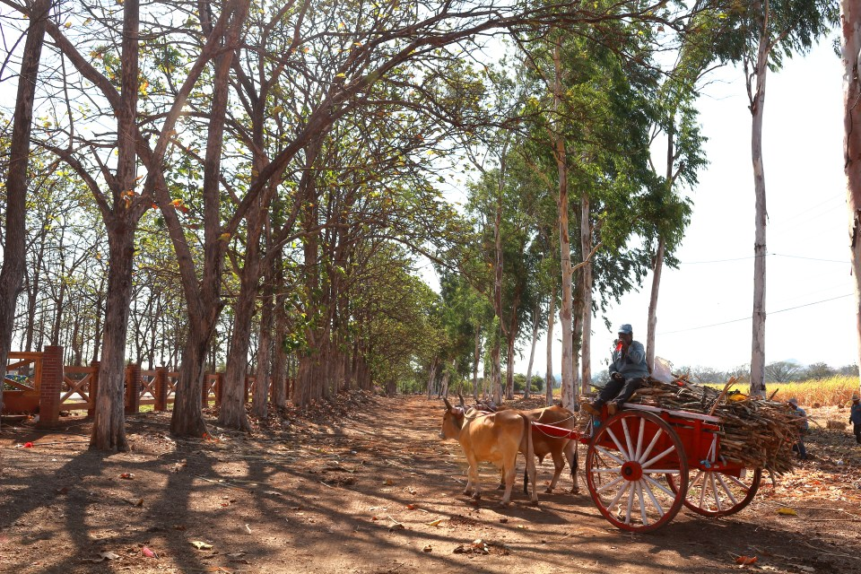 The cattle towed wagons filled with sugar cane harvest