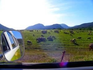 Des moutons entre Anduze et Saint-Bauzille-de-Putois - France