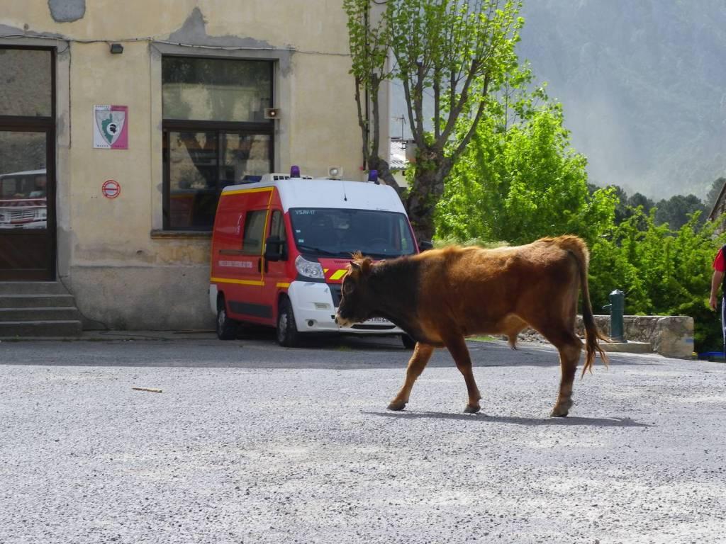 Une vache dans Ghisoni - Ghisoni, Corse