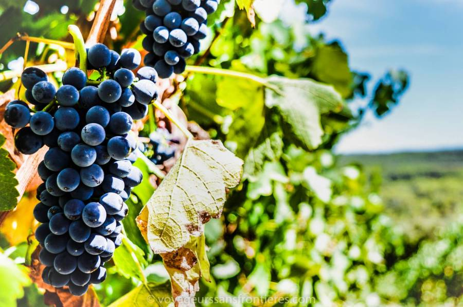 Une belle grappe pendant le Haut Lirou Wine Tour - Saint Jean de Cuculles, France