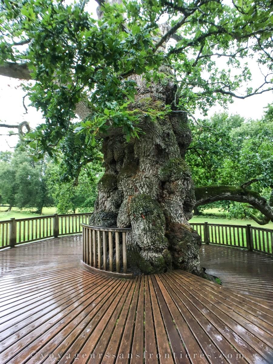 Chêne à Guillotin - Bretagne, France