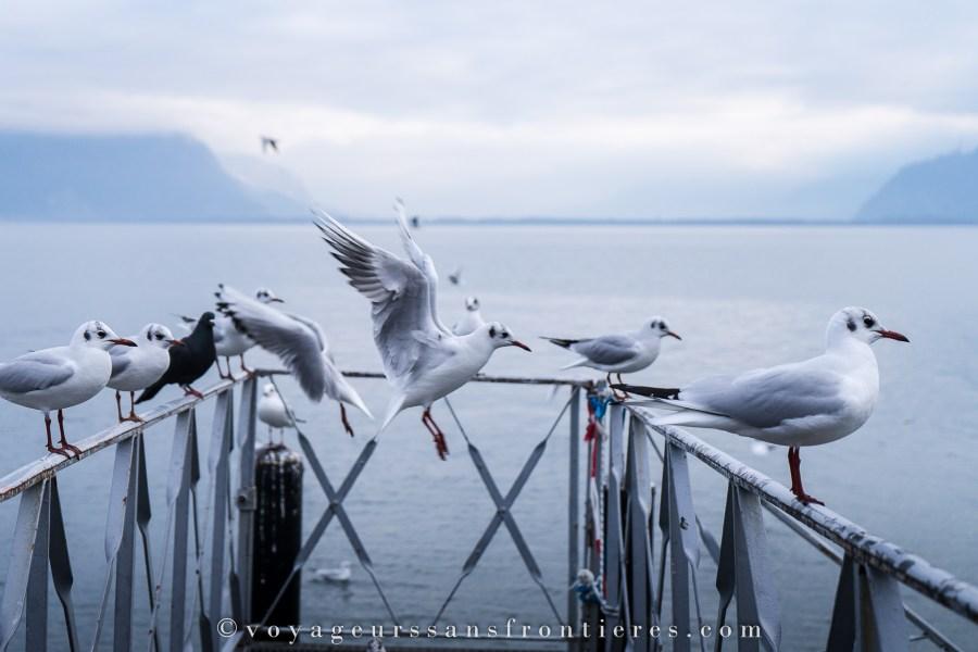 Mouettes au Lac Léman - Vevey, Suisse