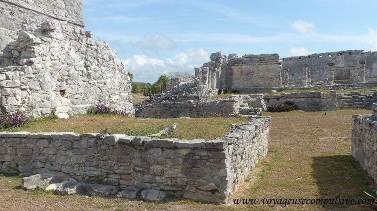 Les iguanes qui peuplent le site archéologique de Tulum.